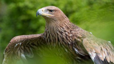 Царски орел, открит ранен и спасен в България, е бил застрелян в Турция